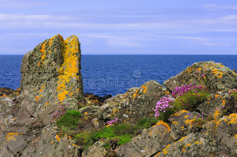 Lichen and Thrift growth, coastal rocks. These coastal rocks and boulders, near Port Logan, in Southern Scotland, have a great deal of vegetation attached to stock images