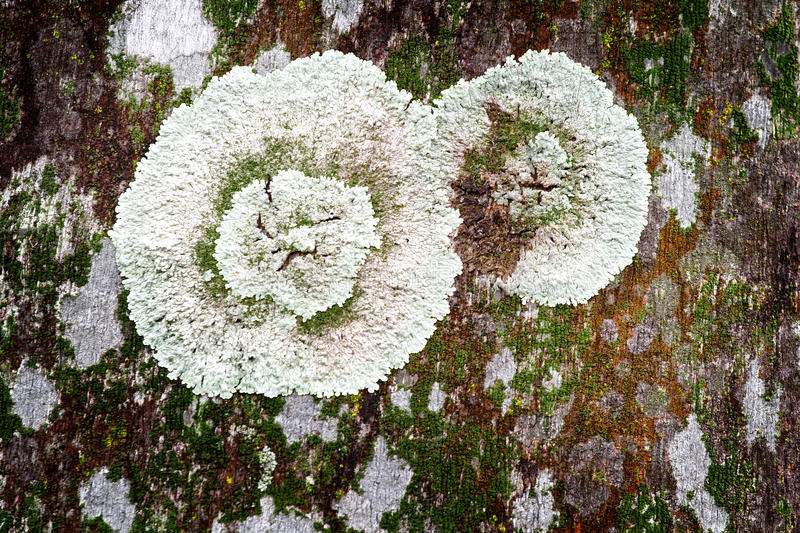Download Lichen on tree trunk stock image. Image of nobody, lichen - 17117973