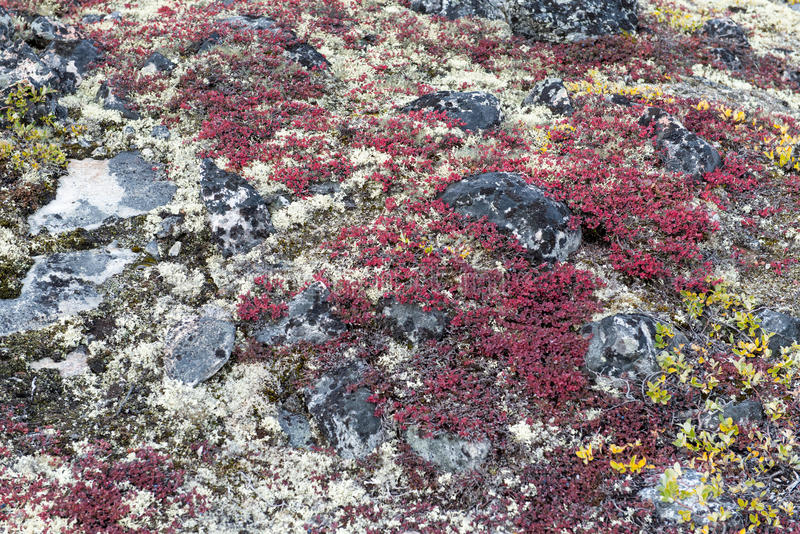 Lichen and tundra vegetation. Detail of lichen and tundra vegetation in Greenland during summer royalty free stock image