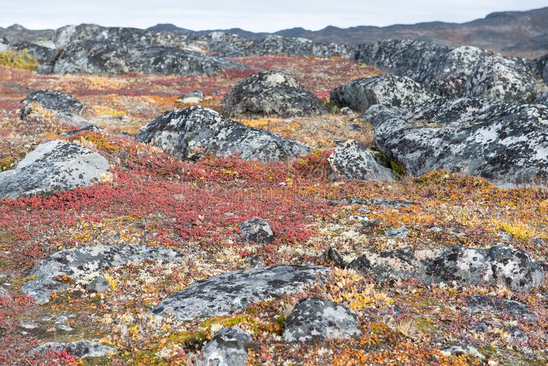 Lichen and tundra vegetation. Detail of lichen and tundra vegetation in Greenland during summer stock images