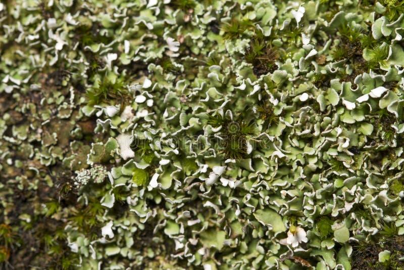 Download Lichene asciutto fotografia stock. Immagine di foresta - 30825244