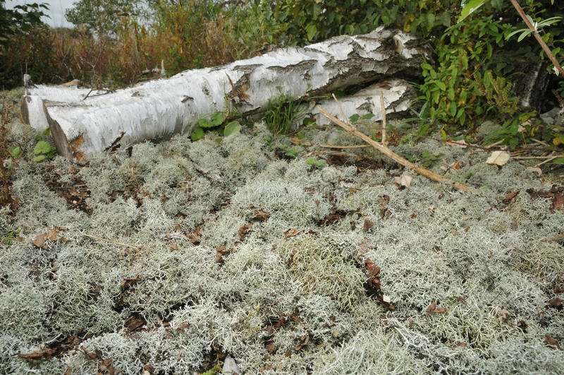 Lichene di renna fotografie stock