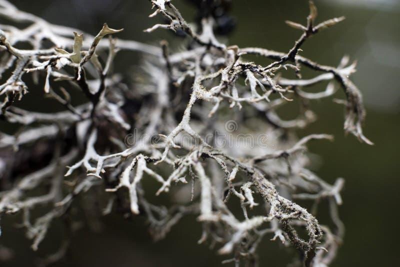 Lichene di renna fotografia stock