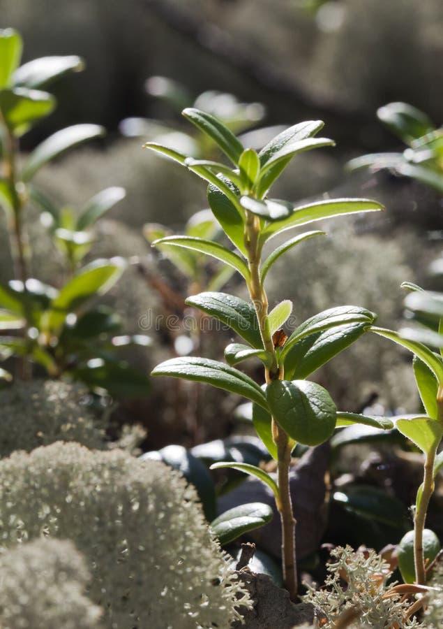 Lichene di renna, primo piano fotografie stock