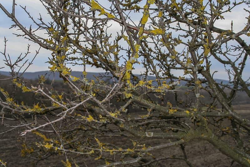 Lichene Lepraria della scala fotografia stock libera da diritti