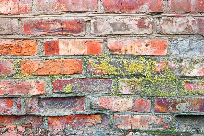 Lichene su un muro di mattoni Muro di mattoni rosso antico con muschio come fondo La struttura di vecchia parete ha coperto il mu fotografie stock