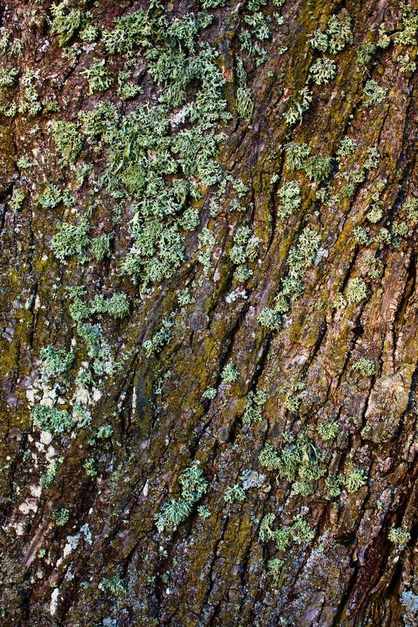 Lichene sulla corteccia di albero fotografia stock