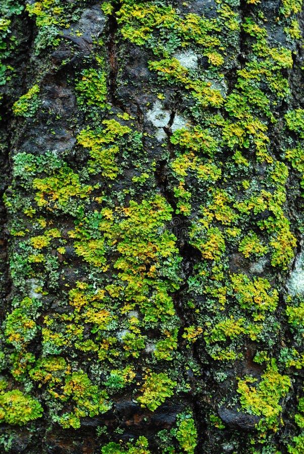 Lichene sulla corteccia di albero fotografie stock