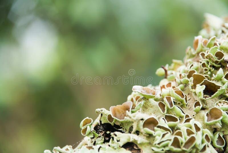 licheni Grigiastro verdi. fotografia stock libera da diritti