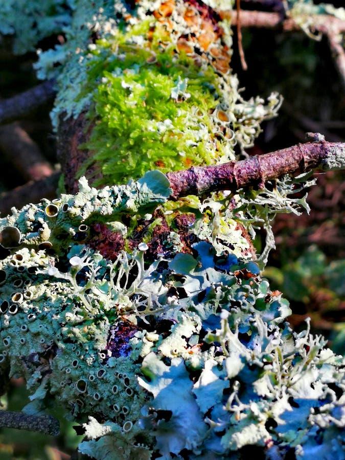 lichens imagens de stock royalty free