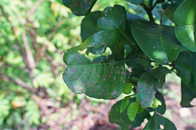 Lichens and algae on pomelo leaves royalty free stock photography