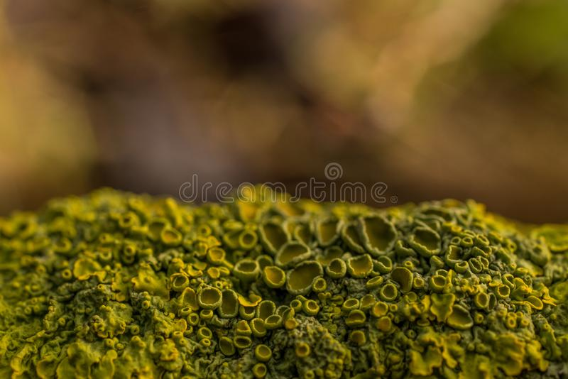 Lichens and fungi on the branch. Nbackground yellow green bokeh stock photo