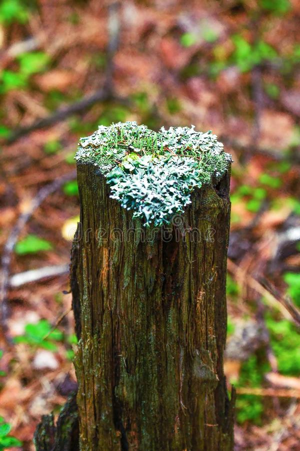 Lichens on a tree stump in the shape of a heart. royalty free stock photos