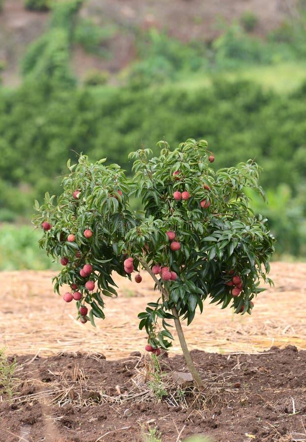 Lichi frais sur l'arbre image libre de droits