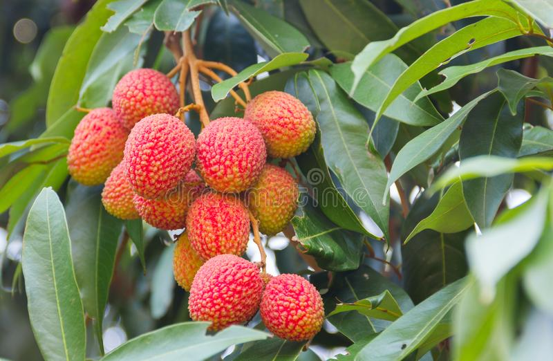 Lichi, nombre científico de Lichi: Lichí Sonn chinensis Fruta encendido foto de archivo