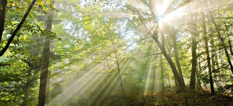 Licht in het bos stock afbeelding