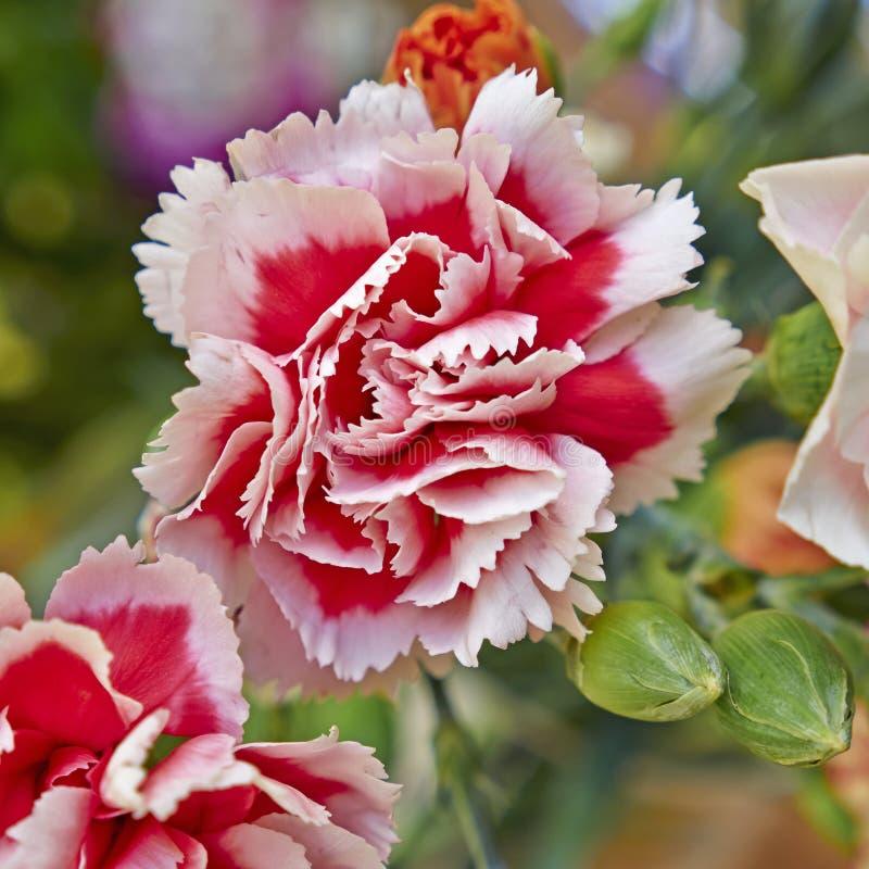 Licht und dunkle rosa Gartennelkenblumennahaufnahme stockfoto