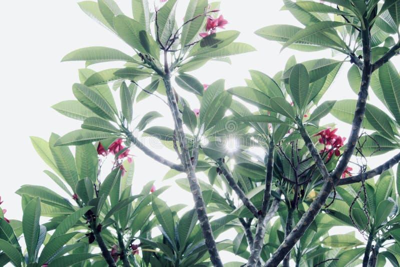 Licht van de de bloemzon van de bloemboom het rode stock foto