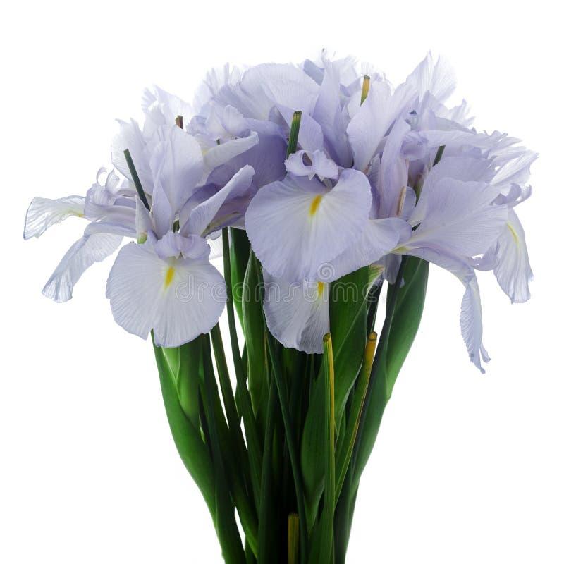 Lichtblauwe Gekleurde Iris Flower Isolated op Witte Achtergrond stock afbeelding