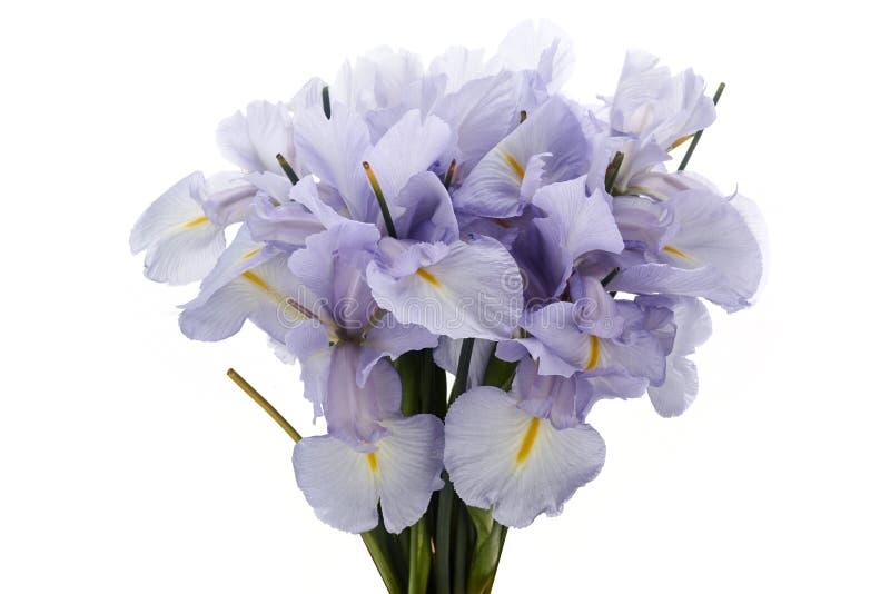 Lichtblauwe Gekleurde Iris Flower Isolated op Witte Achtergrond stock foto