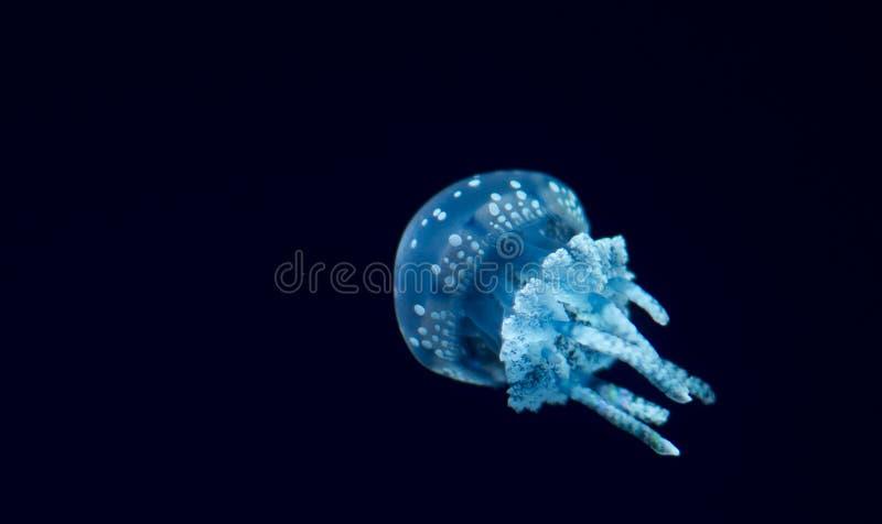 Lichtblauwe kwallen in aquarium stock afbeelding