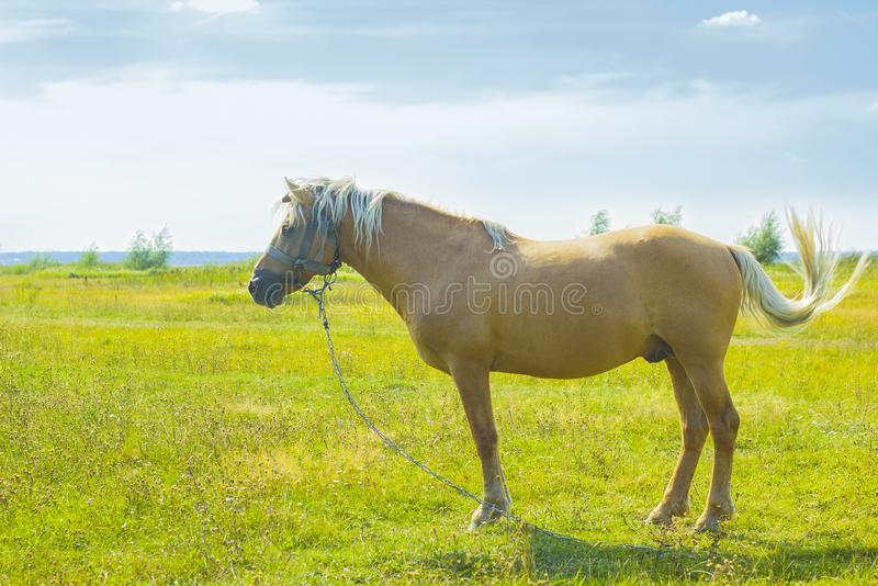 Lichtbruin paard met witte manen op groene weide dichtbij meer stock afbeelding