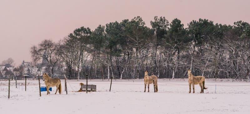 Lichtbruine paarden die zich in het weiland bevinden en de camera tijdens wintertijd bekijken, witte sneeuwweide, mooie aard stock afbeelding