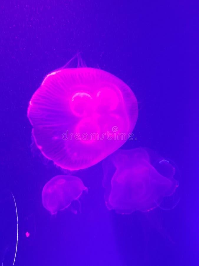 Lichtdurchlässige rosa Gelees lizenzfreies stockfoto