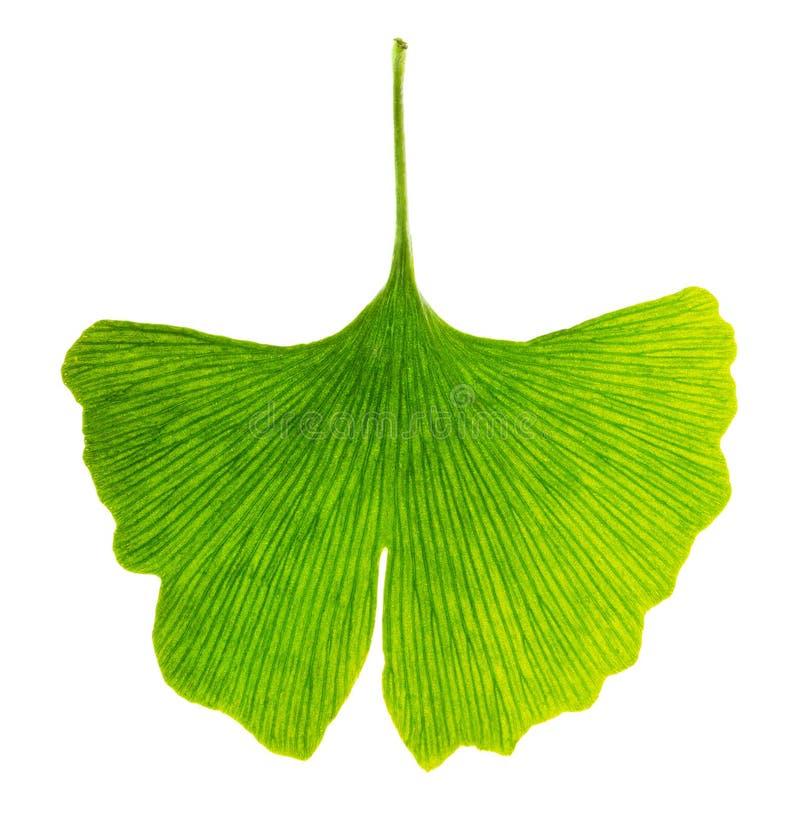 Lichtdurchlässiges Ginkgo biloba Blatt im Durchlicht stockbilder