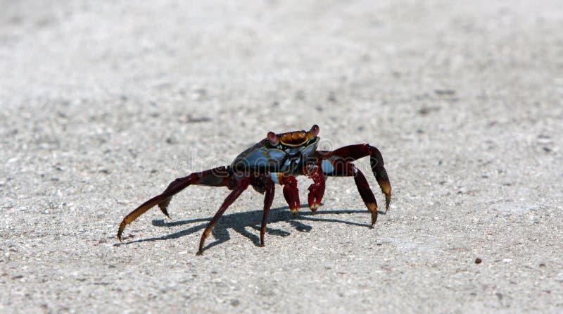 Lichte de voetkrab van Sally op de Eilanden van de Galapagos royalty-vrije stock fotografie