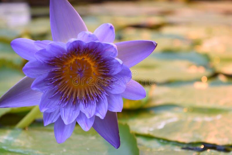 Lichte Levendige Purpere waterlelies royalty-vrije stock afbeeldingen