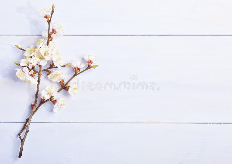 Lichte lilac achtergrond met bloeiende abrikozentakken royalty-vrije stock foto