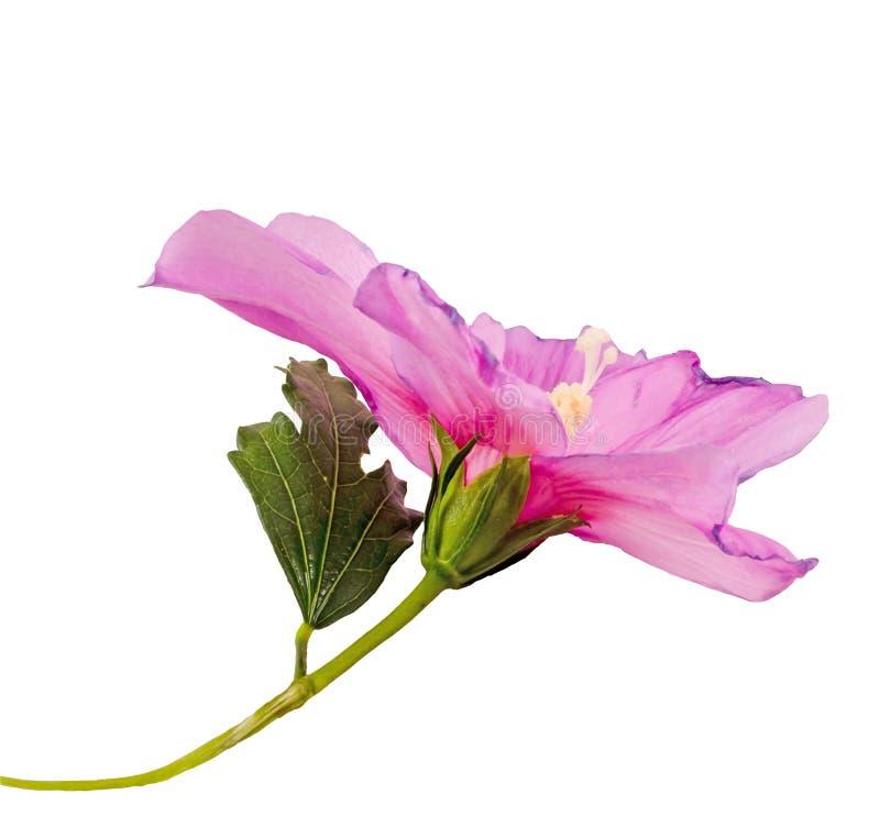 Lichte mauve Hibiscus rosa-chinensis bloem stock illustratie