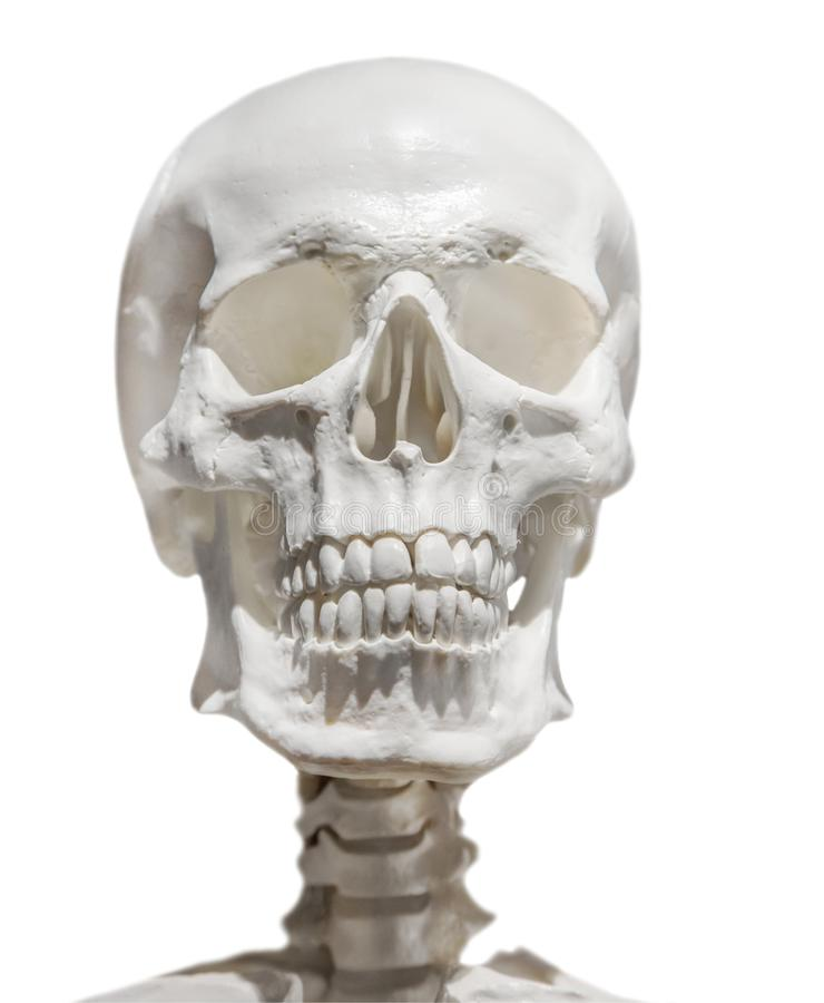 Lichte menselijke die schedel met hals op wit wordt geïsoleerd royalty-vrije stock fotografie