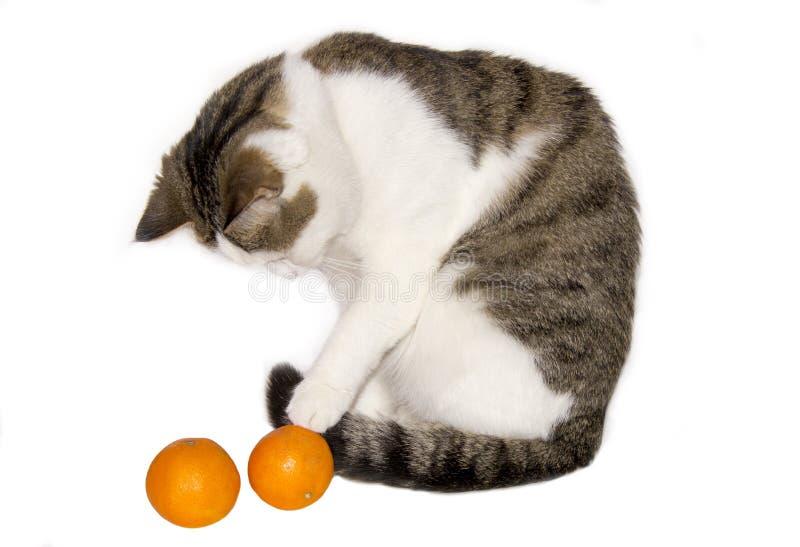 Lichte mooie kat met mandarijnen royalty-vrije stock afbeeldingen
