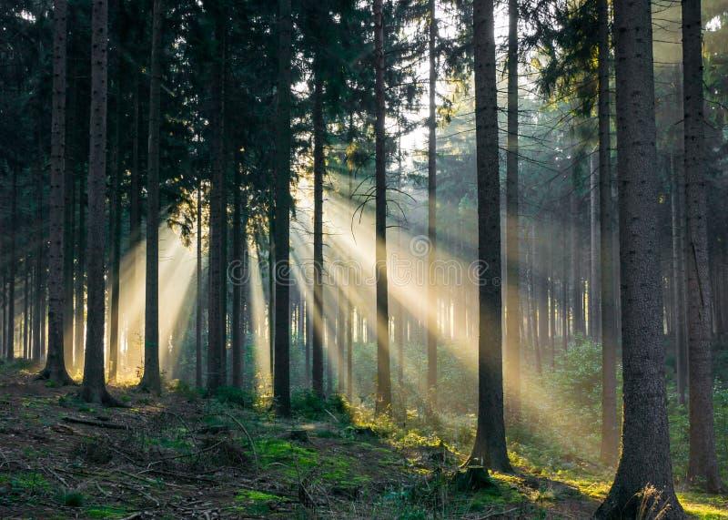 Lichte stralen die door de bomen in het bos komen royalty-vrije stock afbeelding