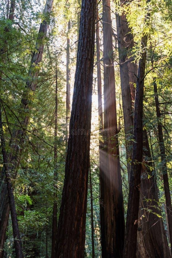 Lichte stralen door de bomen in Muir Woods stock foto's