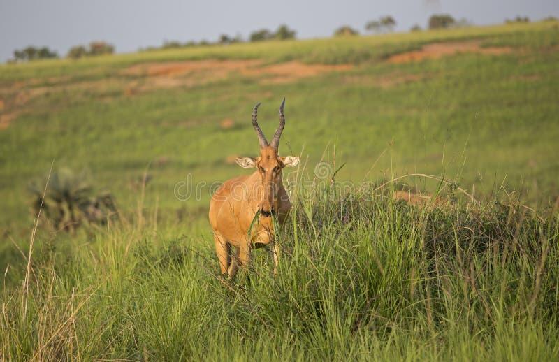 Lichtensteins Hartebeest i den afrikanska savannet arkivfoto