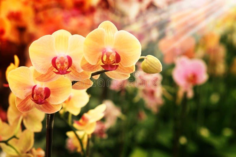 Lichtgele Farland-orchidee in kleurrijke bloemtuin met zachte nadrukachtergrond stock afbeeldingen