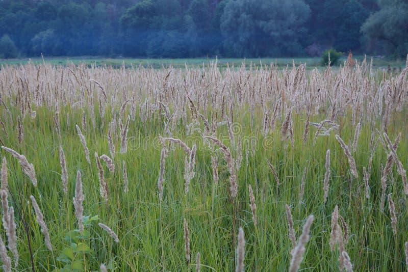 Lichtgele oren van korrelgewassen, tarwe sluit omhoog op een achtergrond van groen gras royalty-vrije stock foto