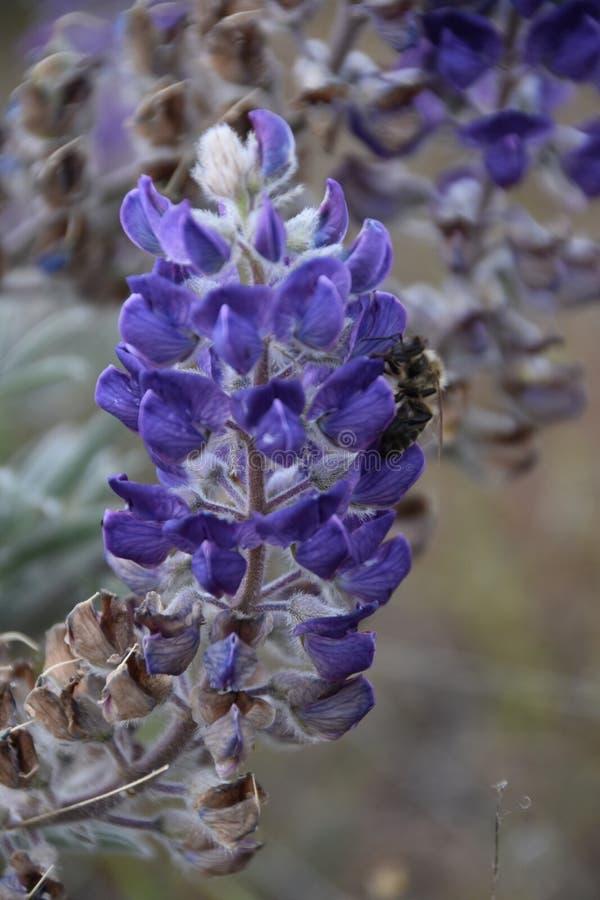 Lichtgevende Lupine met Welwillende Bijenbezoeker; De Heuvels van de paardhemel, Washington State royalty-vrije stock foto's