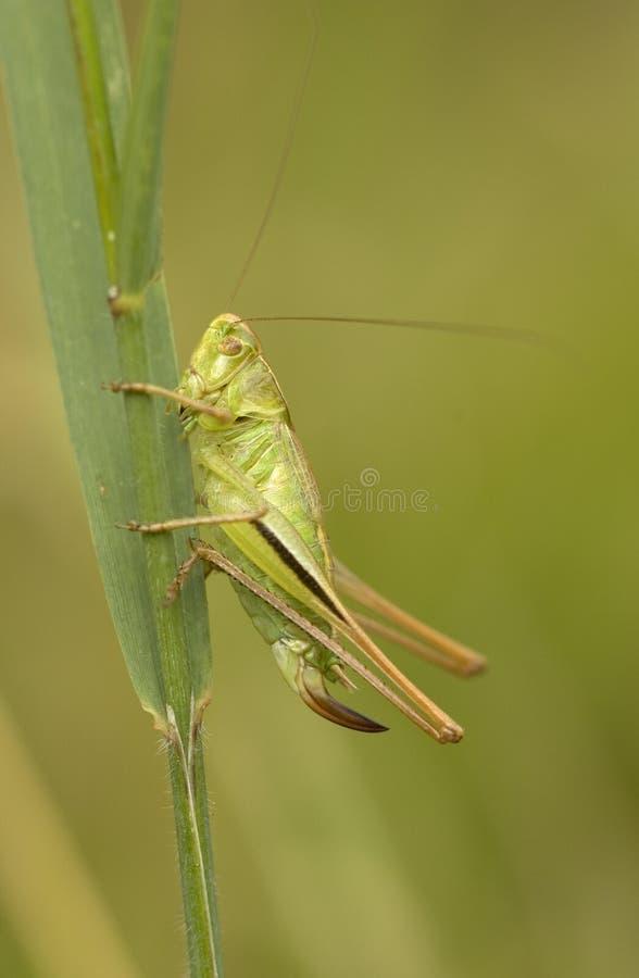 Lichtgroene Sabelsprinkhaan, Two-coloured Bush-cricket, Metrioptera bicolor stock images