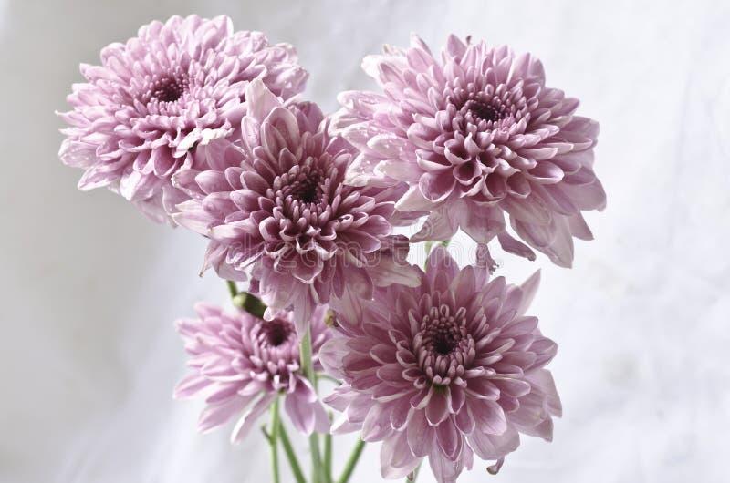 Lichtpaarse chrysantenbloemen op grungy wit royalty-vrije stock afbeelding
