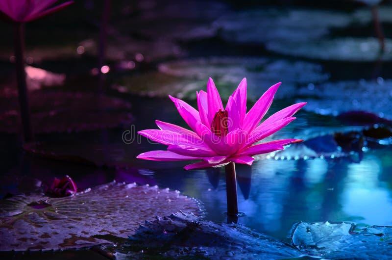 Lichtpaarse drijvende lichte de fonkelings purpere achtergrond van Lotus Pink royalty-vrije stock afbeelding