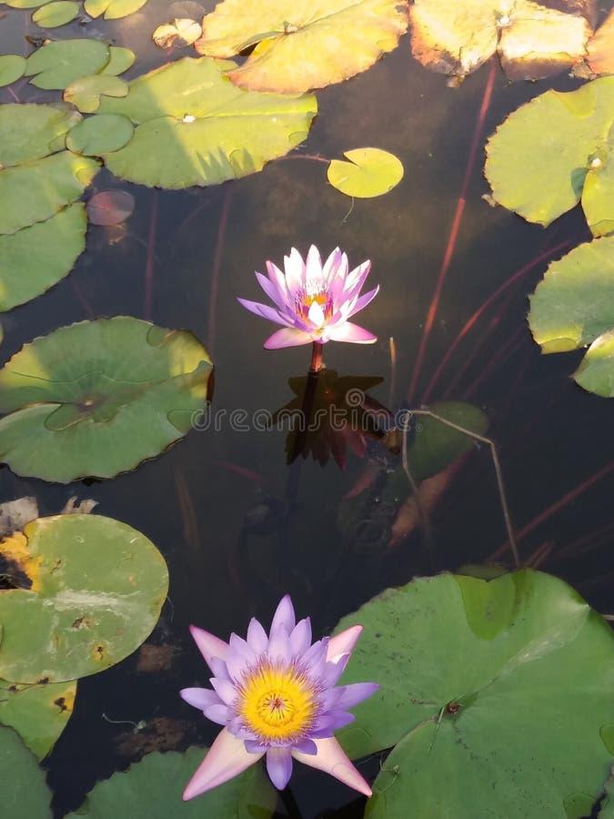Lichtpaarse Lotus Flowers in een Vijver royalty-vrije stock foto's