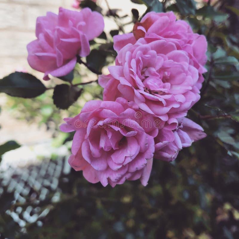 Lichtrose bloem royalty-vrije stock fotografie