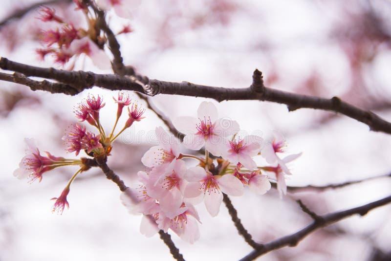 Lichtrose Cherry Blossoms royalty-vrije stock fotografie