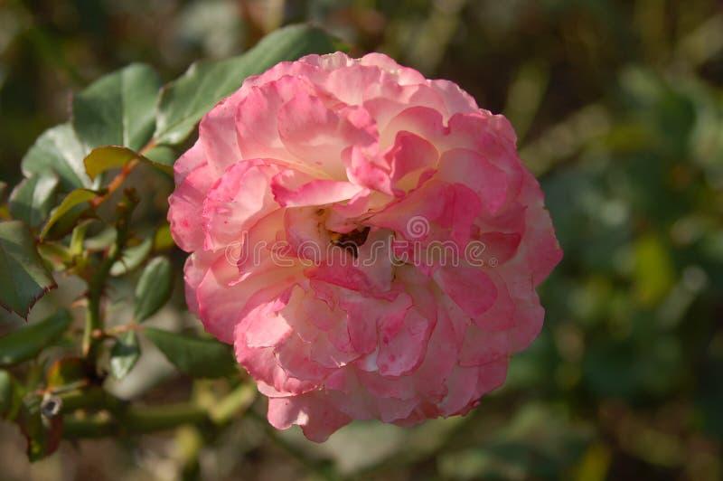 Lichtrose en witte bloem stock afbeeldingen