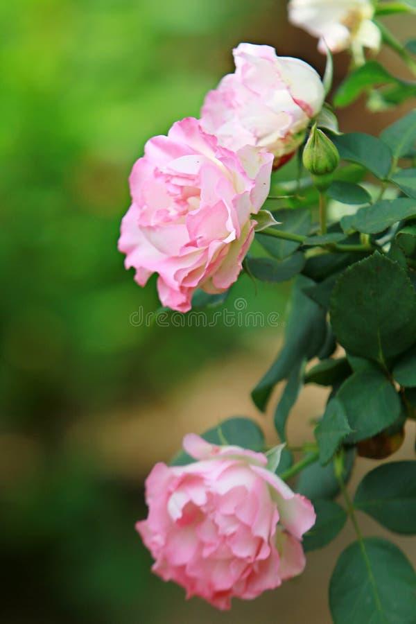 Lichtrose nam in een roze struik toe stock afbeeldingen