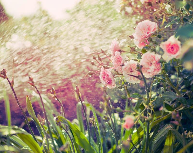 Lichtrose rozen met waterplonsen van het water geven in de zomertuin stock foto